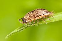 Crustaceans (Crustacea)