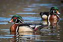 Wood Ducks at Wissohicken Creek / Photo by Bob Laramie