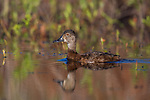 Female ring-necked duck swimming in a northern Wisconsin lake.