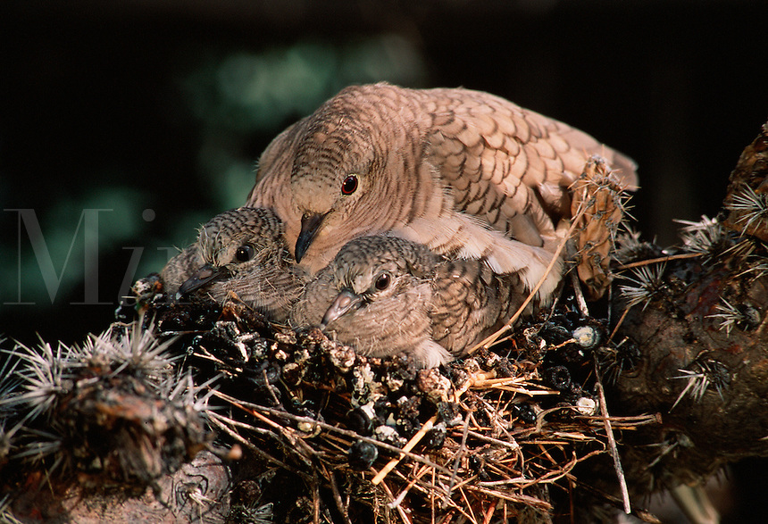 Inca Doves, adult and two young, nested in a cholla cactus. (Scardafella inca). Arizona.