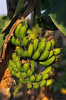 Afrique/Afrique de l'Ouest/Sénégal/Parc National de Basse-Casamance/Mlomp : Bananier