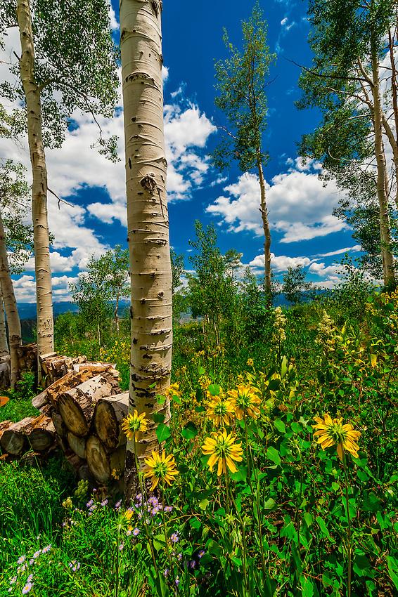 Aspen trees, Snowmass Village (Aspen), Colorado USA.