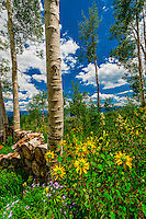 Aspen trees, Snowmass Village (Aspen), Colorado USA.