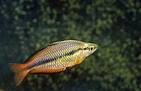 Juwelen-Regenbogenfisch, Juwelenregenbogenfisch, Dreistreifen-Regenbogenfisch, Gebänderter Regenbogenfisch, Prachtregenbogenfisch, Pracht-Regenbogenfisch, Melanotaenia trifasciata, Regal Rainbowfish, Banded Rainbowfish, Jewel Rainbowfish, Goyder River Rainbowfish, Three-stripe Rainbowfish, Regenbogenfische, Melanotaeniidae