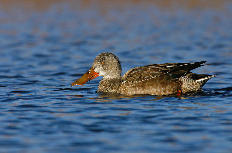 Northern Shoveler - Anas clypeata - female