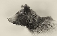 We were fortunate to spend time with several grizzly bears during the salmon spawn in British Columbia.<br /> <br /> This image is also available in color.