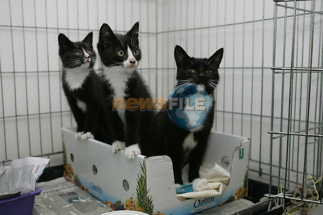 Family (mother and two kittens) in Drogheda Animal Rescue, Scholes Lane...Photo NEWSFILE/Jenny Matthews.(Photo credit should read Jenny Matthews/NEWSFILE)....This Picture has been sent you under the condtions enclosed by:.Newsfile Ltd..The Studio,.Millmount Abbey,.Drogheda,.Co Meath..Ireland..Tel: +353(0)41-9871240.Fax: +353(0)41-9871260.GSM: +353(0)86-2500958.email: pictures@newsfile.ie.www.newsfile.ie.FTP: 193.120.102.198.
