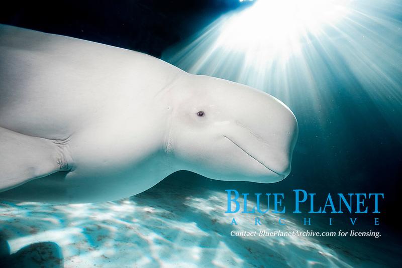 beluga whale, Delphinapterus leucas, (c)