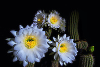 Cactus Blossoms of the Southwestern Deserts