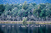 Canada geese congregated on Bog pond, Kepler track, Fiordland National Park, South Island, New Zealand.