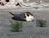 Adult tundra peregrine falcon resting on spoil island in Aransas Bay