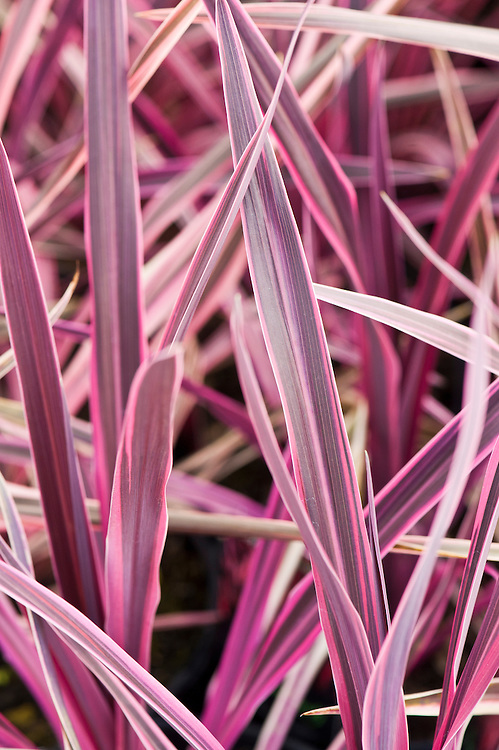 """Cordyline australis 'Pink Passion', mid May. """"Pink Passion ('Seipin') was found by Paul Hummel of wholesale growers Seiont Nurseries as a sport on a batch of the old favourite Cordyline australis 'Red Star' at a tissue culture laboratory at Myerscough College in Lancashire in 2002."""" [Graham Rice, RHS]"""