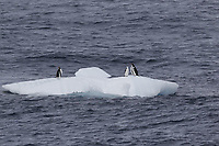 Chinstrap Penguins Pygoscelis antarcticusand Gentoo penguins Pygoscelis papua resting on Ice floe, Weddel sea Southern Ocean, Antarctica