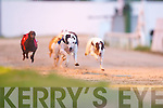 Boherbee Girl (No 2), champion dog in The Tote Pick Six Jackpot 325 at Kingdom Greyhound Stadium, Tralee, on Friday night, with Kilree Jessy (No 4) and Pagoda Boy (No 6) close on his tail..