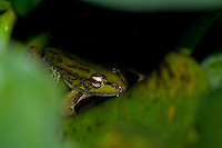Forrer's grass frog or leopard frog, Rana forreri, in the gardens of the Hotel Bougainvillea, San Jose, Costa Rica