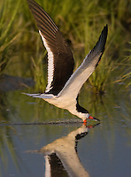 Black Skimmer<br /> Rynchops niger<br /> foraging in saltmarsh<br /> NJ,,  Delaware Bay
