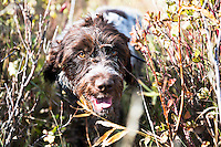 Willa, a wirehaired pointing Griffon, crashed through cover in search of pheasant while hunting near the Missouri River Breaks in central Montana.