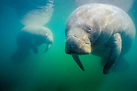 Florida manatee, Trichechus manatus latirostris, a subspecies of West Indian manatee, Trichechus manatus, Three Sisters Spring, Crystal River, Florida, USA