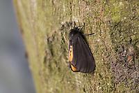 Kaiserbär, Trauerbär, Epatolmis luctifera, Phragmatobia luctifera, Epatolmis caesarea, Phragmatobia caesarea, Le Deuil, l'Ecaille funèbre. Eulenfalter, Noctuidae, noctuid moths, noctuid moth