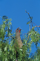 Plain Chachalaca, Ortalis vetula, adult calling on Mesquite tree, The Inn at Chachalaca Bend, Cameron County, Rio Grande Valley, Texas, USA, May 2004
