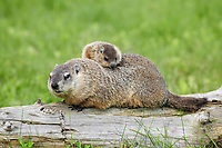 Woodchuck (Marmota monax), adult, carrying young on back, Minnesota, USA, North America