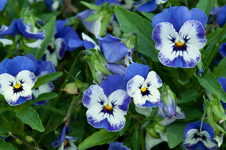 Viola cornuta 'Sorbet XP Delft Blue', early August. http://www.fleuroselect.com/goldmedal/details.aspx?id=1166&lang=en