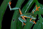 Splendid Leaf or Tree Frog, Cruziohyla calcarifer, on leaf with legs and arms stretched showing colourful patterned banding, Guayacan, Provincia de Limon, Costa Rica, Amphibian Research Center, tropical jungle, South America, Endangered, Threatened.Central America....
