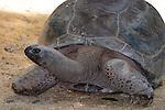 Aldabran Tortoise-Geochelone gigantea