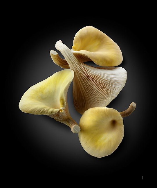 Fresh picked edible yellow or golden oyster mushrooms (Pleurotus citrinopileatus)