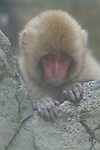 Japanese macaque ( Macaca fuscata ) / snow monkey