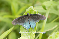 03004-01417 Pipevine Swallowtail butterfly (Battus philenor)  male, Marion Co., IL