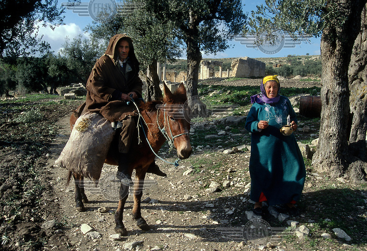 Pesant farmer on a donkey with his wife in an olive grove during the olive harvest.