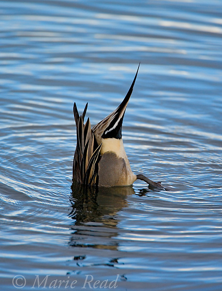 Northern Pintail (Anaa acuta) male feeding by tipping upside down into water, Bolsa Chica Ecological Reserve, CA