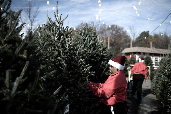 November 28, 2008. Durham, NC..  At the women's only tree lot at Northgate mall, Nikitia Wilkins, a former addict from Spring Hope, NC, tends to the needs of a tree. All the trees come from North Carolina and their sale is one of the biggest money makers for TROSA..TROSA, Triangle Residential Options for Substance Abusers, provides shelter and food for addicts that want to beat their addictions..