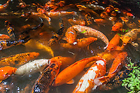 A school of koi fish feeding in a pond at the Byodo-In Temple in Kaneohe, Oahu