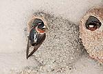 Cliff Swallow (Petrochelidon pyrrhonota) clinging outside its nest constructed of mud pellets, Mono Lake Basin, California, USA