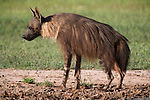 Brown hyena, Hyaena brunnea, Kgalagadi Transfrontier National Park, Northern Cape, South Africa