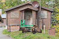 Brown bears relax in the grass in front of the Brooks lodge, Katmai National Park, Alaska.