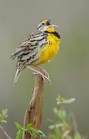 Eastern Meadowlark - Sturnella magna - breeding adult