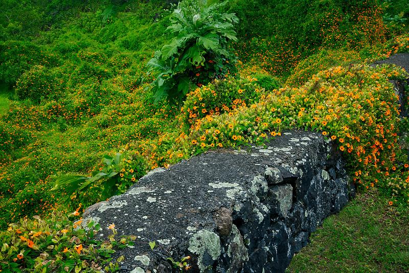 Black Eyed Susan wildflowers and stone wall. Maui, Hawaii