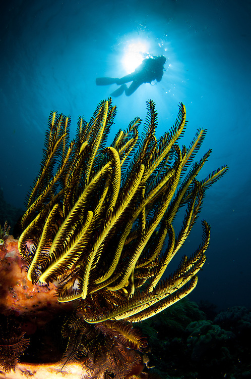 A black an yellow Crinoid, with diver and sunburst in the background, Lembeh Strait