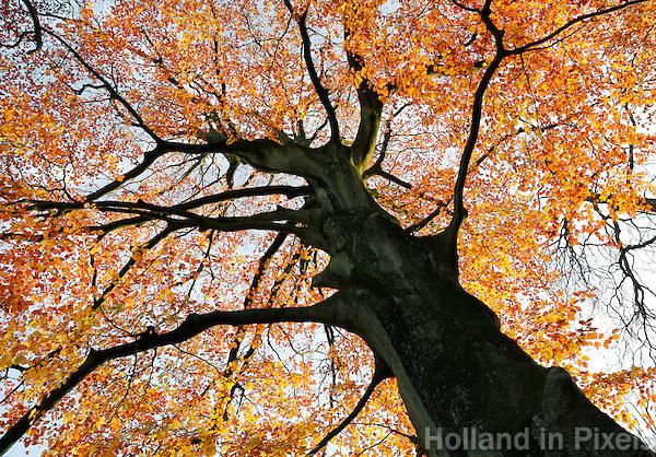 Rotterdam - Beuk in Het Park. Herfst