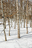 USA, California, Mammoth, several snow covered birch trees near Convict Lake