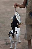 Xingu Indigenous Park, Mato Grosso State, Brazil. Aldeia Kwaryja (Guaruja) (Kaiabi). Fish with dog.