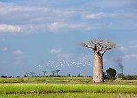 Baobab trees amongst rice paddys near Morondava, Madagascar