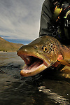 FLY FISHING FOR BROWN TROUT IN NEW ZEALAND
