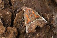 Zackeneule, Zimteule, Krebssuppe, Orangefarbene Zackeneule, Scoliopteryx libatrix, The herald, La Découpure, Eulenfalter, Noctuidae, noctuid moths, noctuid moth