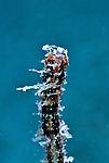 Shortpouch Pygmy Pipehorse, Acentronura tentaculata