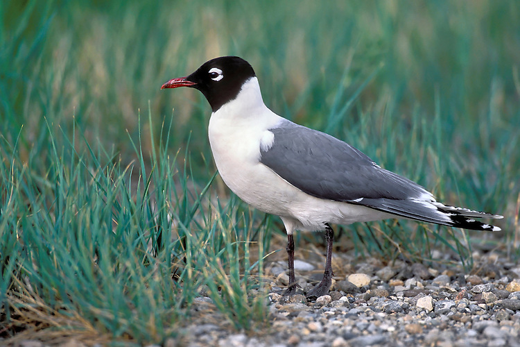 Franklin's Gull - Larus pipixcan - breeding adult
