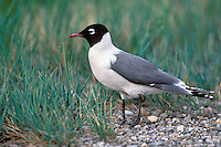 Franklin's Gull - Larus pipixcan - breeding adult